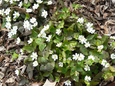 Hepatica is one of the first to bloom