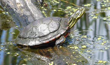Painted turtle sunning itself.