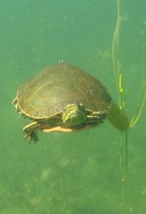 21. turtle