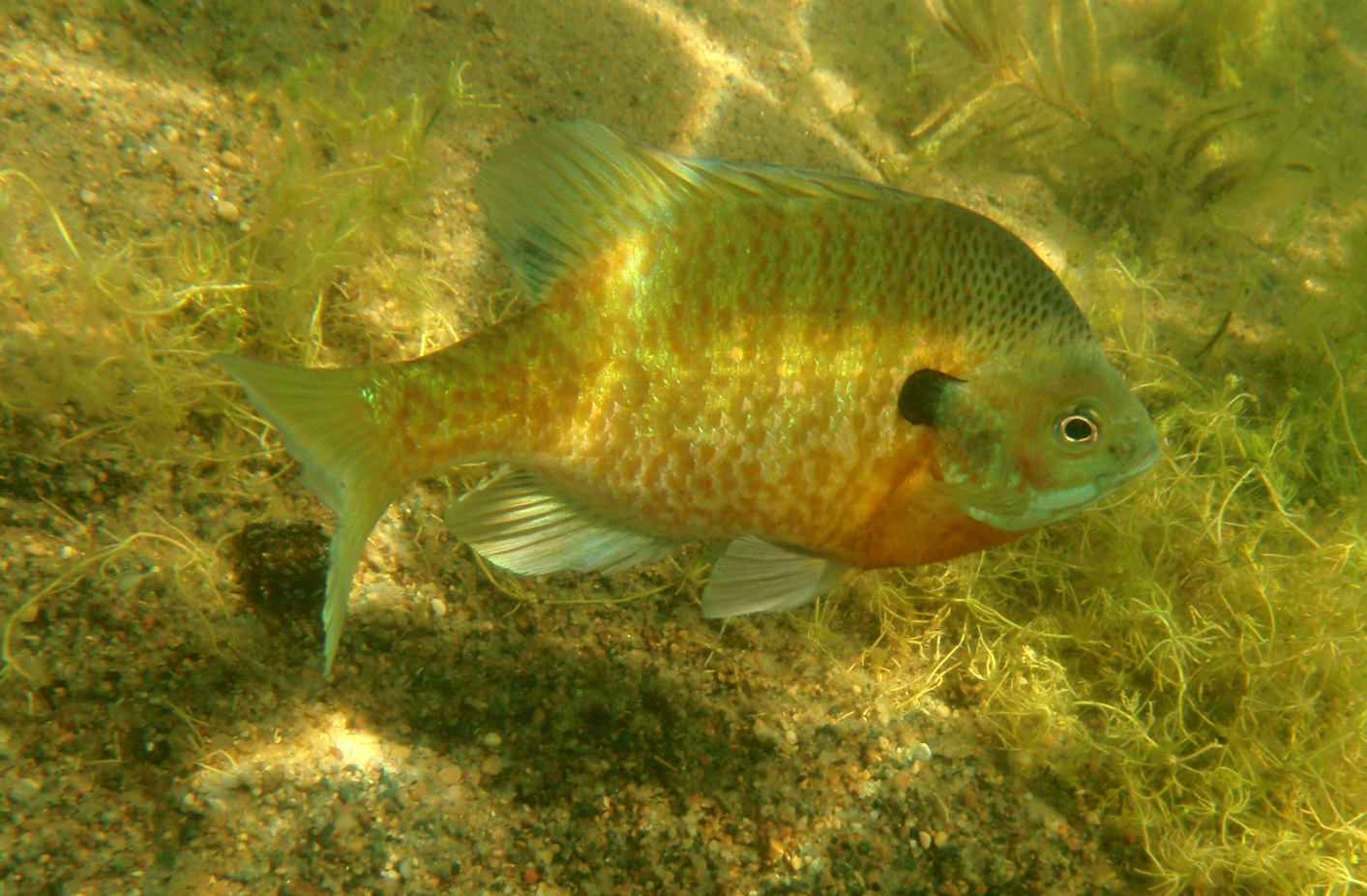 Midwestern fish the old naturalist for Blue gill fishing