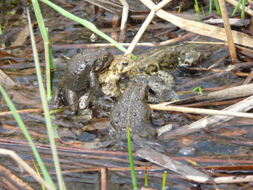Mating American Toads