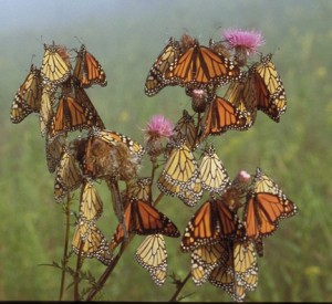 Migrating monarchs resting in the morning light