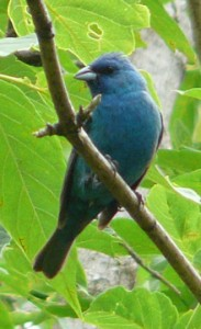 Indigo bunting male calling in the forest.