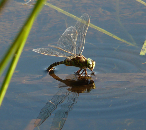 Dragonfly laying Eggs