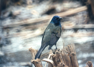 GrackleWade
