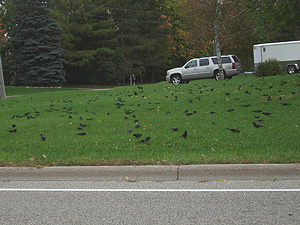 Fall migrating grackles