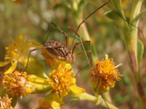 Daddy Long Legs  or Harvestman