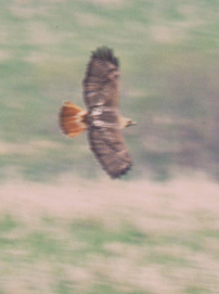 A Red-tail soaring.
