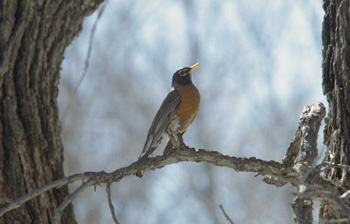 Male robin calling in early spring