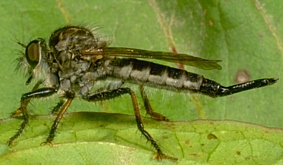 Robber Fly (www.uky.edu/Ag/CritterFiles/)