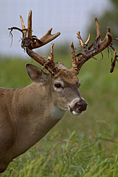 A buck losing its velvet.