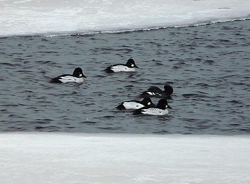 In open water/ Mid February.