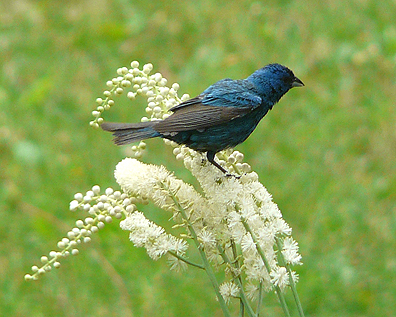 Indigo bunting feeding on pollinating insects.