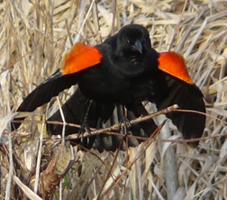 Male red-wing blackbird displaying at its cattail territory.