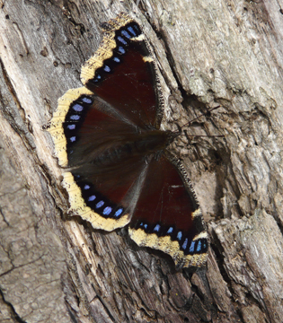 Mourning cloak is an early spring butterfly.