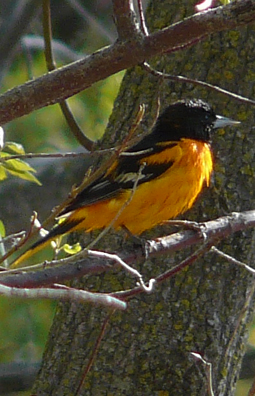 May 1st is oriole day. Put your orange slices out.