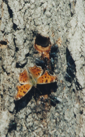 An anglewing feeding on maple sap in late March.