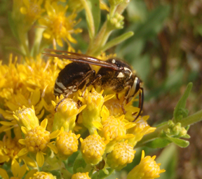 Bald-faced Hornet on Stiff Goldenrod