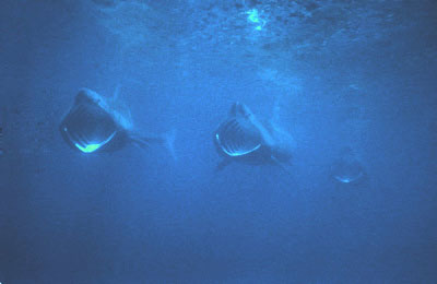 Basking Shark (Shane Anderson)