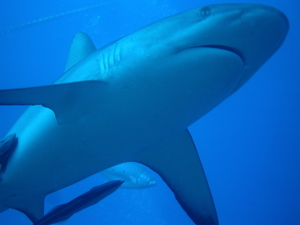 Black-tip Shark (Marc Anderson)
