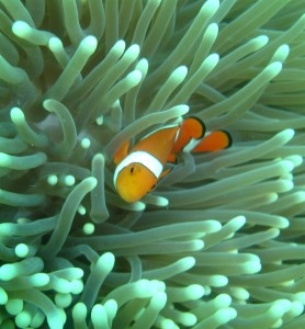 Clownfish Barrier Reef Australia (Colin Anderson)