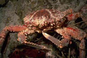 Crab (Jane Ball)