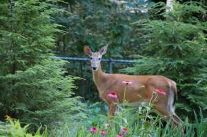 Deer  (Paul Gagner)
