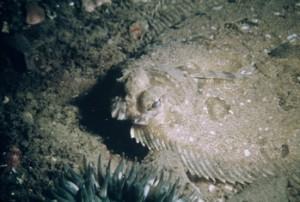 Flatfish close-up. Notice the stalked eyes (Western Marine Laboratory).