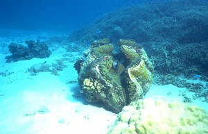 Giant Clam with shell open and feeding (Jane Ball)