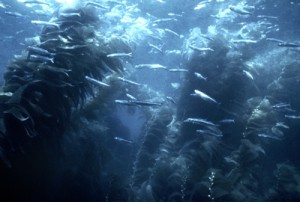 Giant Kelp (Western Marine Laboratory)