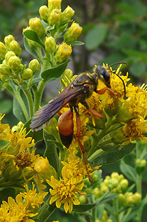 Great Golden Digger Bee on Stiff Goldenrod