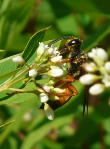 Great Golden Digger Wasp on Dogbane.