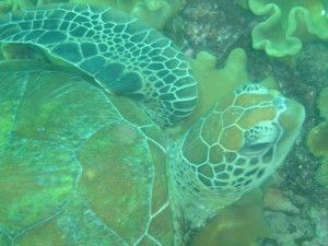Green Sea Turtle (Colin Anderson)