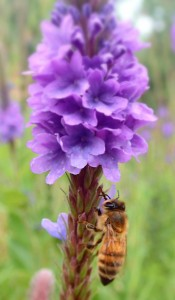 Honey bee on Hoary Vervain