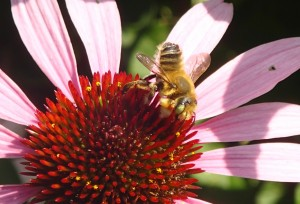 Long-Horned Bee (female) on Echinacea