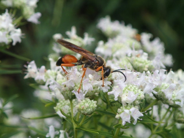 Great Golden Digger Wasp (Lawrence Wade)