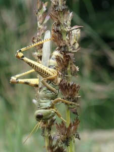 Yellow-legged Grasshopper (Lawrence Wade)