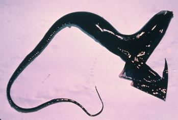 Pelican Gulper Eel (Western Marine Lab)