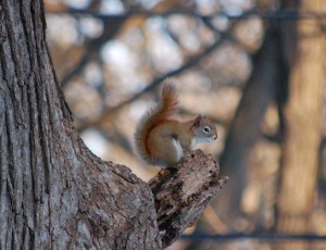 Red Squirrel (Paul Gagner)