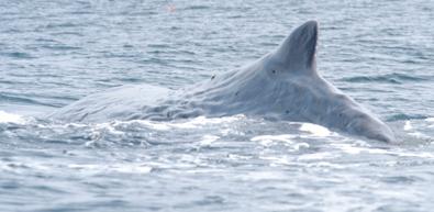 Back of a sperm whale (Alexei Calambokidis)