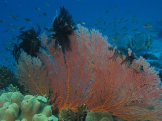 Sea Fan  photo by Jane Ball