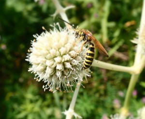 Tiphiid Wasp on Rattlesnake Master