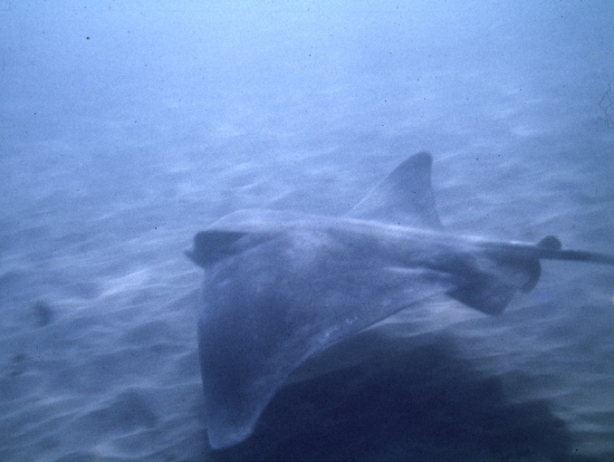 Manta ray swimming over sandy area (Western Marine Laboratory)