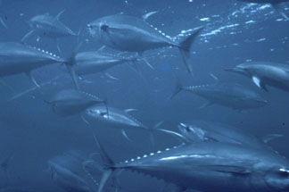 Yellowfin Tuna ( Nooa)