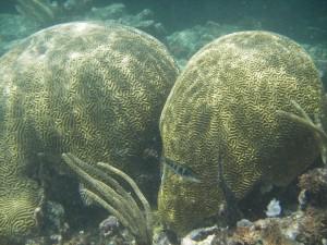 Brain Coral, Yucatan Coast, Mexico (Aaron Wade)