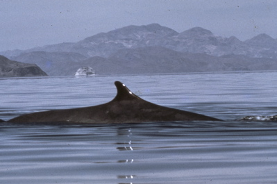 Fin Whale dorsal fin, Baja California (Paul Kelly)