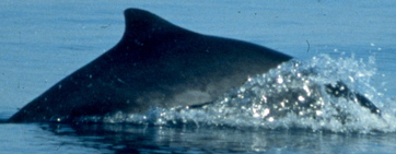 Harbor Porpoise (Robin Baird, Cascadia Research)