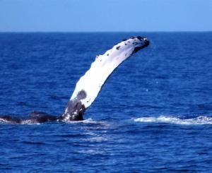 Humpback flippering - Maui, Hawaii (Maslowski)
