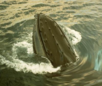 Humpback Spyhopping   (L. Wade)