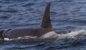 Orca I-wade